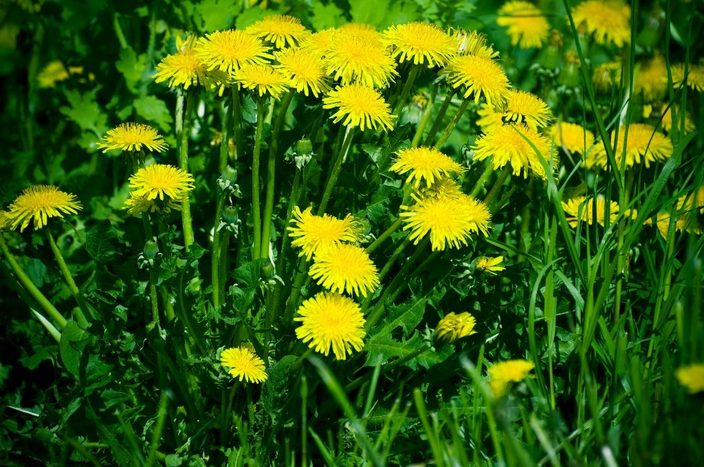 dandelion for gout