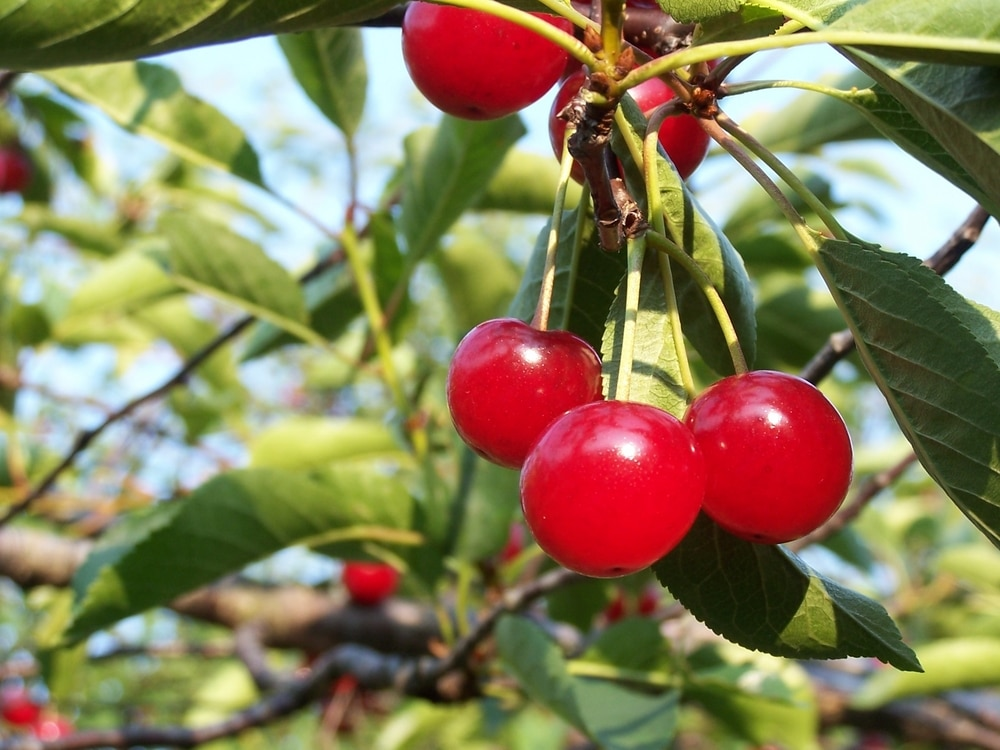 montmorency cherries for gout